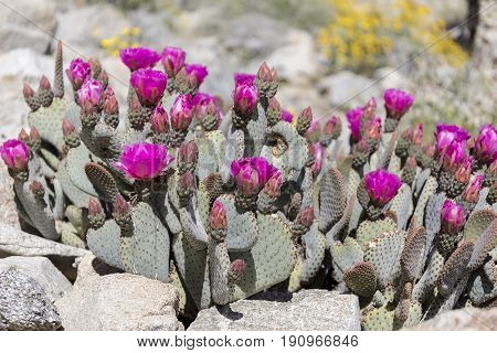 Beavertail Cactus And Wildflowers Blooming In Anza-borrego State Park, California