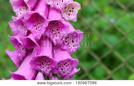 Pink bells on a green background. Digitalis.