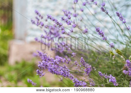 Bush With Lavender Flowers In Blur In Sunlight