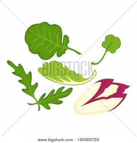Salad leaves cartoon isolated vector illustrations set. Healthy arugula, sweet spinach, colorful witlof and green lettuce on white background. Useful herbs for meals seasoning and keeping diet.