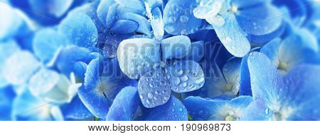 Soft blue Hydrangea (Hydrangea macrophylla) or Hortensia flower with water dew on petals.Shallow depth of field for soft dreamy feel. wide format.