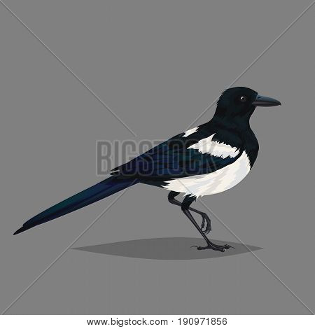 Realistic bird Magpie isolated on a grey background. One of the most intelligent animals in the world Eurasian magpie Vector illustration for your design, journal article and encyclopedia.
