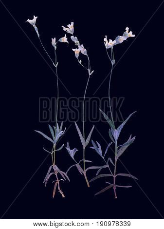 Pressed and dried flower isolated on black background. For use in scrapbooking floristry or herbarium.