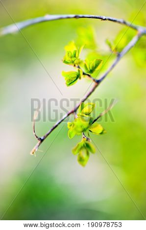 Macro spring view of tree brunch with green fresh lovely leaves buds
