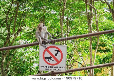 Grey monkey sitting on the railing with a sign Not to feed the monkeys at the entrance to the Batu Caves, Malaysia.