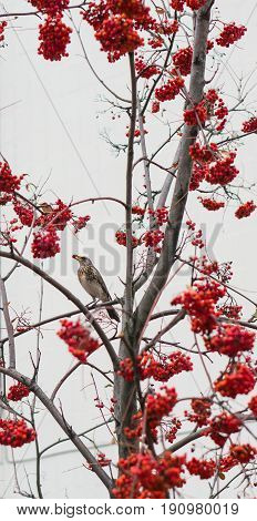 Waxwing with berry of mountain ash sits on branch. cluster of a red mountain ash