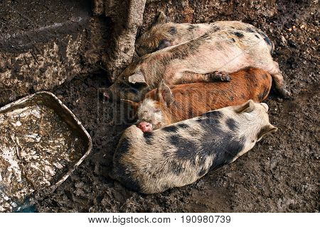 Happy life of cute dirty piglets on the farm