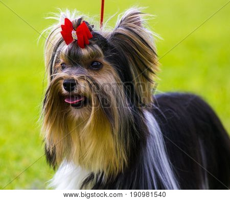 Yorkshire Terrier. Yorkshire terrier playing in the park on the grass