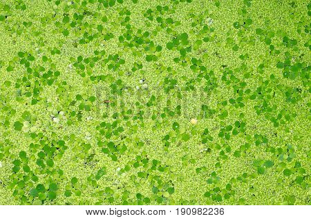 green duckweed plants floats in water on water for background texture