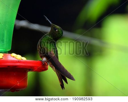 A humming bird drinks water in Cocora Valley Colombia