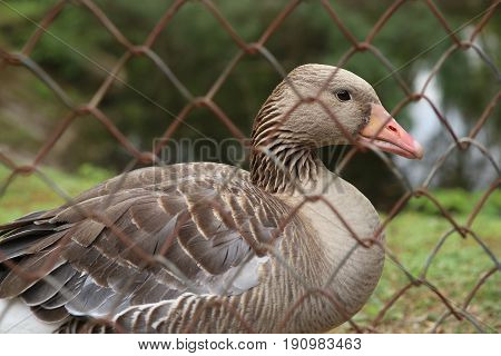 Goose behind the fence. Wild bird greylag goose in captivity.