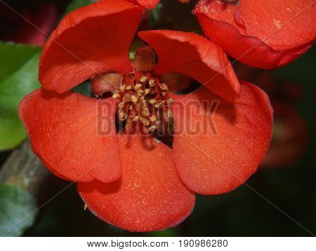 The Flower Bud Of Japanese Quince. Petals Red.