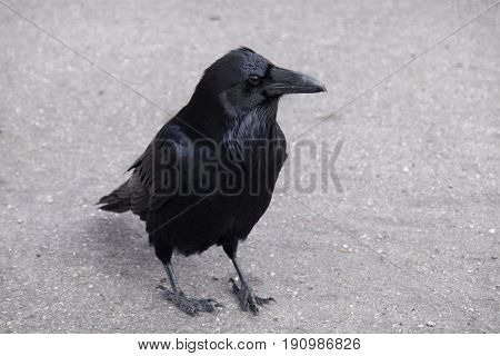 A curious raven in a parking lot