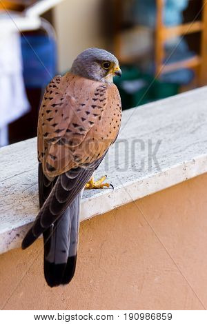 Close up of a common kestrel perched on a parapet of an urban building
