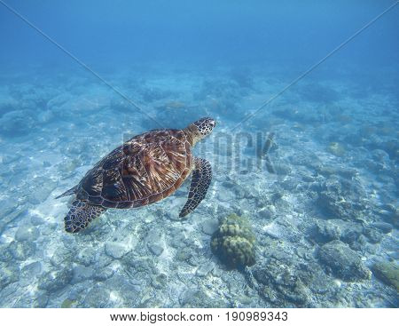 Sea turtle swims underwater. Snorkeling with tortoise. Wild green turtle in tropical lagoon. Sea ecosystem with animals and seaweeds. Oceanic environment. Marine wildlife protected. Endangered species