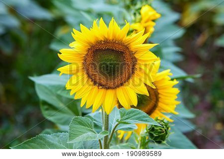 Beautiful Sunflower Field In  Summer (sunflowers)
