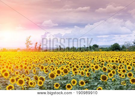 Beautiful sunflower field in summer (sunflowers) Background