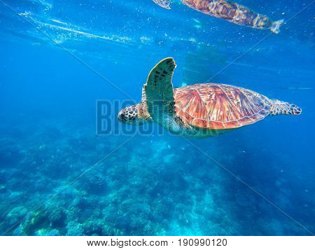 Green turtle in blue water. Seashore lagoon and tortoise. Wild green turtle in tropical lagoon. Sea ecosystem with animals and seaweeds. Ocean inhabitant Tropical marine wildlife. Endangered species