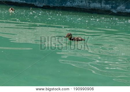 Small Duckling Floating On Water