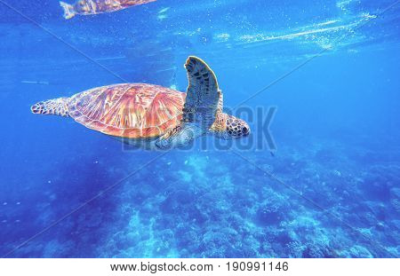 Green turtle in clean blue water. Seashore lagoon and tortoise. Wild green turtle in tropical lagoon. Sea ecosystem with wild animals. Sea shore animal. Tropical marine wildlife.