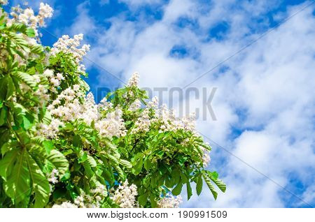 Chestnut branches and chestnut flowers against the sky in summer