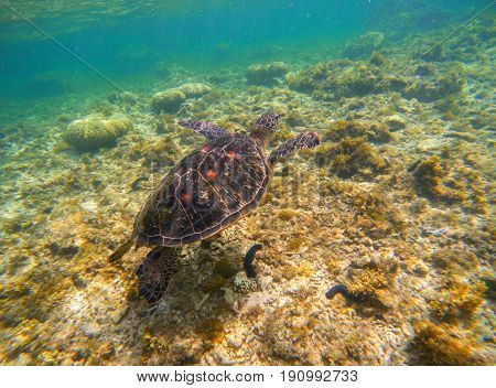 Sea turtle on seabottom. Snorkeling with tortoise. Wild green turtle in tropical lagoon. Sea ecosystem with animals and seaweeds. Oceanic environment. Marine wildlife protected. Endangered species