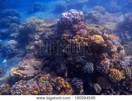 Blue sea water landscape with coral reef. Young coral formation with seaweed. Underwater photo of tropical seabottom. Sea animals and plants. Exotic seashore. Marine inhabitants. Sea water environment