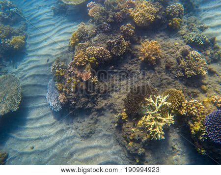 Underwater landscape with coral reef. Young coral formation with seaweed. Underwater photo of tropical seabottom. Sea animals and plants. Exotic seashore. Marine inhabitants. Sea water environment