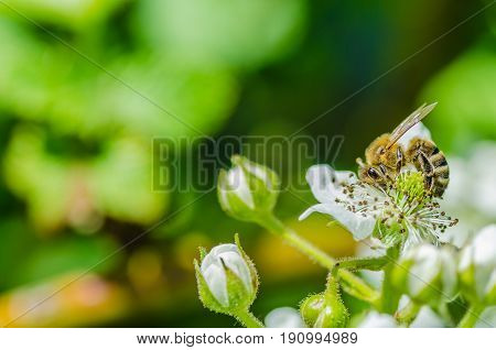 The insect bee collects honey on beautiful white flowers, shows diligence and perseverance.