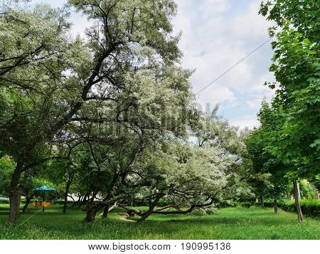 Flowering Russian olive trees in the park (Elaeagnus angustifoilia)