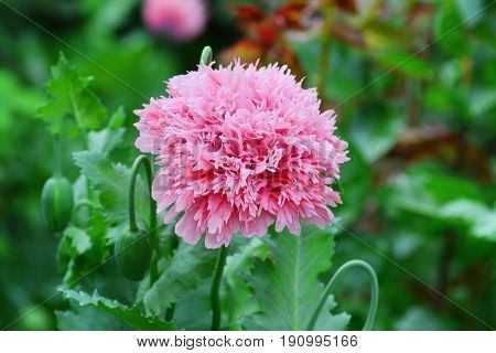 Opium poppy flower. Feathered fringed Papaver somniferum (Laciniatum Group)