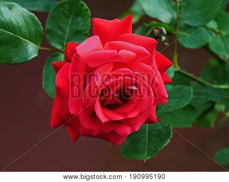 Red rose flower closeup with green leaves