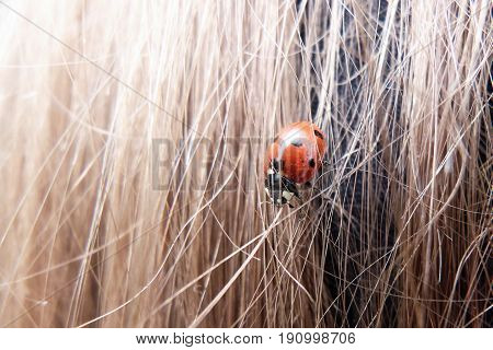 Close up of a ladybug in girl's hair
