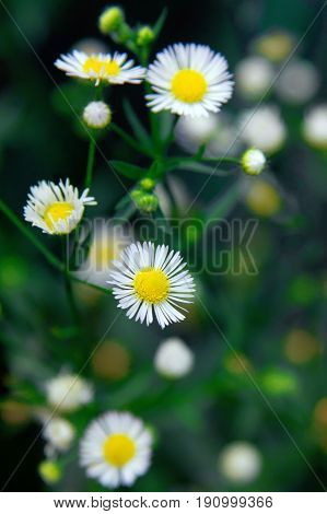 White Chamomile flower with selective focused on the blur background. Chamomiles photo. Beautiful spring flowers.