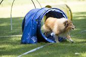 Dog Shetland Sheepdog running through agility tunnel hooper training poster