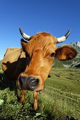 snout of big cow in french mountain in summer poster