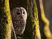Portrait of tawny owl between two trees - Strix Aluco poster