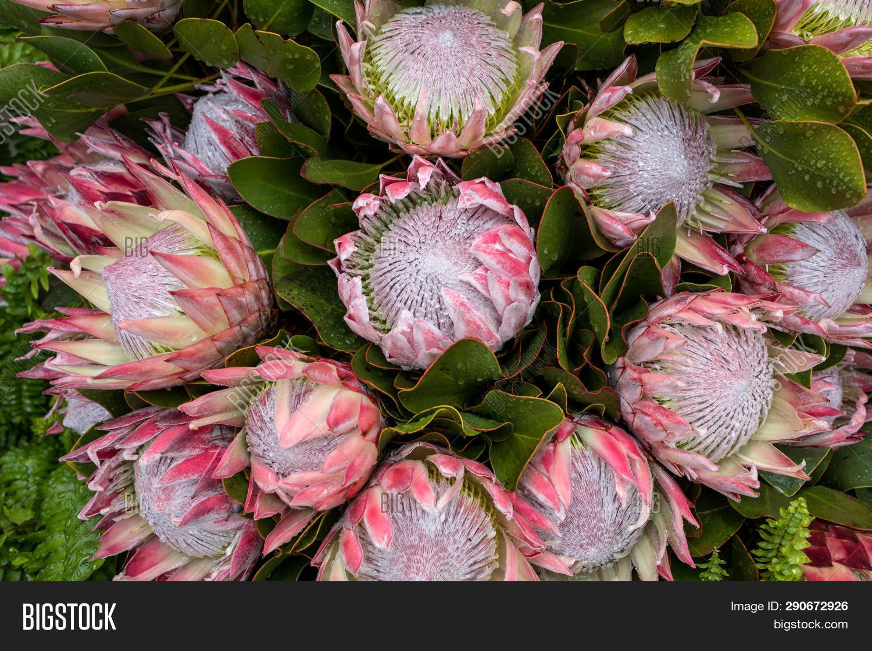 King Protea Protea Image Photo Free Trial Bigstock