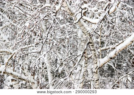 A Winter Day, A Rural Landscape Frozen Branches Of Trees  Covered With Snow.