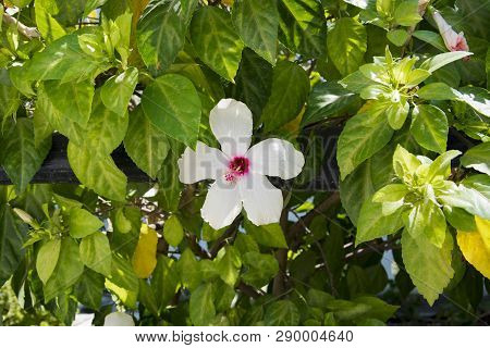 Close-up Shot Of White Hibiscus Flower On A Branch Among The Leaves