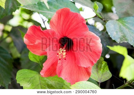 Close-up Shot Of Red Hibiscus Flower On A Branch Among The Leaves