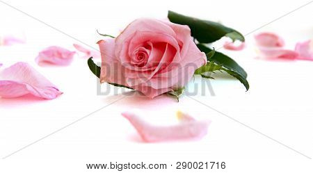 Isolated Light Pink Rose Flower And Petals Laying On White
