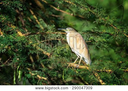 Squacco Heron, Ardeola ralloides, on an acacia tree at Lake Naisvasha, Kenya. This migrant wading bird winters in East Africa, and feeds on fish, frogs and insects around the lake.