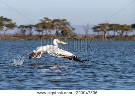 Great white pelican, Pelicanus Onocrotatus, takes off from the blue waters of Lake Naivasha, Kenya.