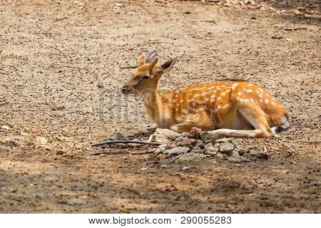Female Chital Or Cheetal Deer (axis Axis),in Sunlight