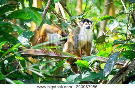 Central American Squirrel Monkey (saimiri Oerstedii) In Mangrove Trees Near Sierpe, Costa Rica.