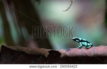 Green and black poison dart frog (Dendrobates auratus) near Puerto Viejo de Sarapiqui, Costa Rica. poster