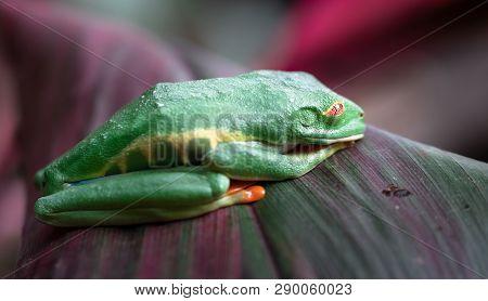 Red-eyed Tree Frog (agalychnis Callidryas) Asleep On A Leaf. Costa Rica.