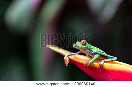 Red-eyed Tree Frog (agalychnis Callidryas) Resting On A Heliconia Flower.