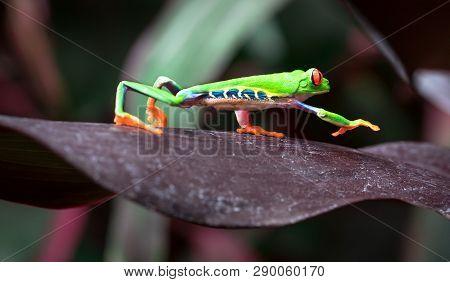 Red-eyed Treefrog (agalychnis Callidryas) Crawling Across A Large Leaf. Costa Rica.